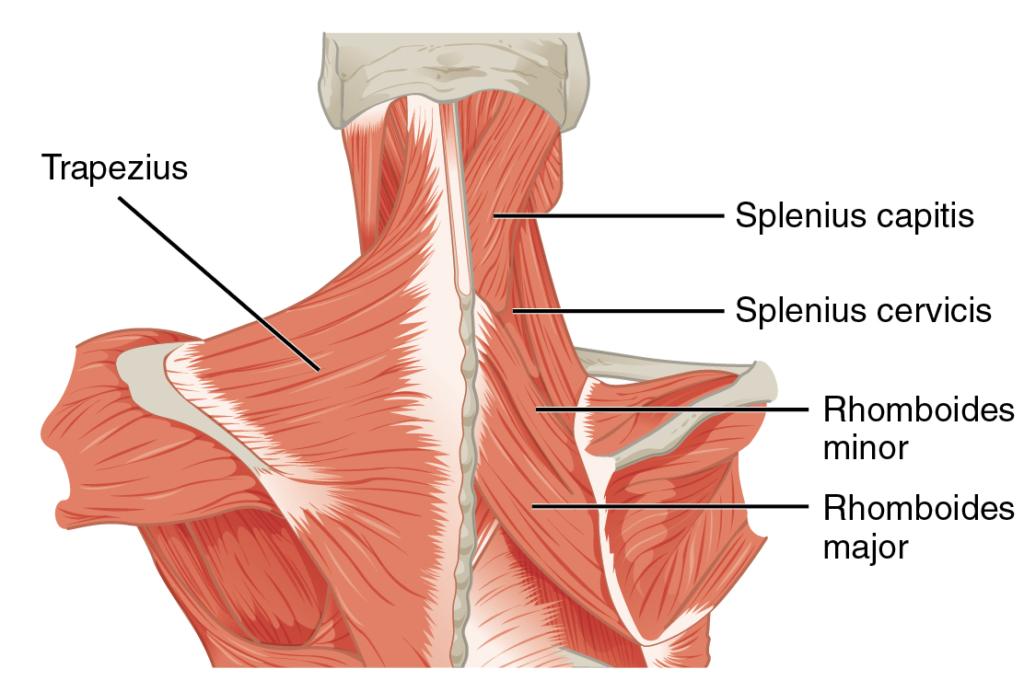 Cervical Anatomy