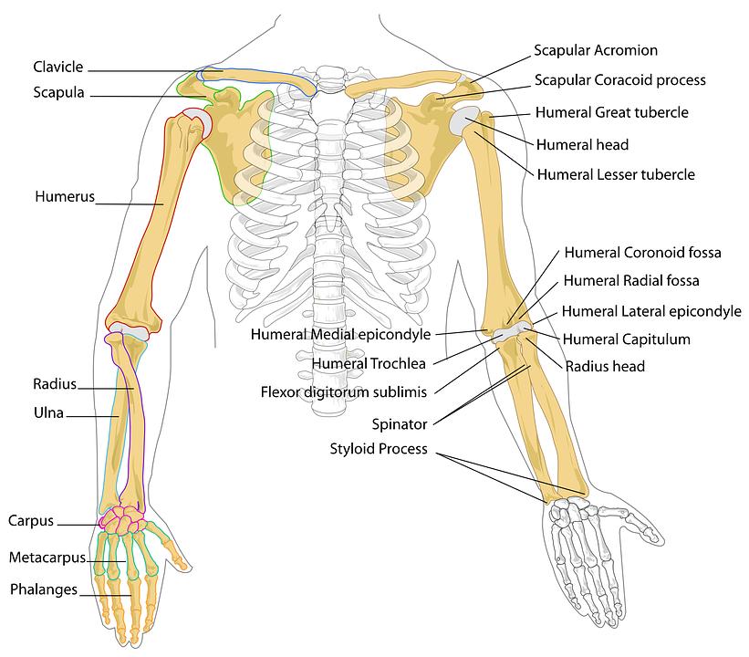 Upper Extremity Anatomy